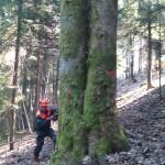 secnja dreves